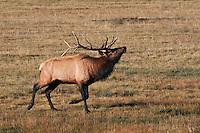 Bull Elk in Rut