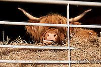 Longhorn cow feeding at Ferry Farm, Thurgarton, Nottinghamshire