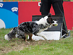 Dog Triggering a Flyball Box