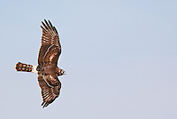 Northern Harrier in flight with wings spread, image is horizontal