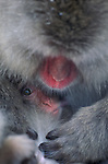 Japanese macaque and baby