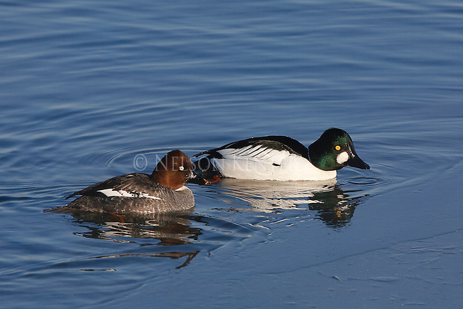 drake and hen Goldeneye ducks on a pond in MontanaHen Goldeneye