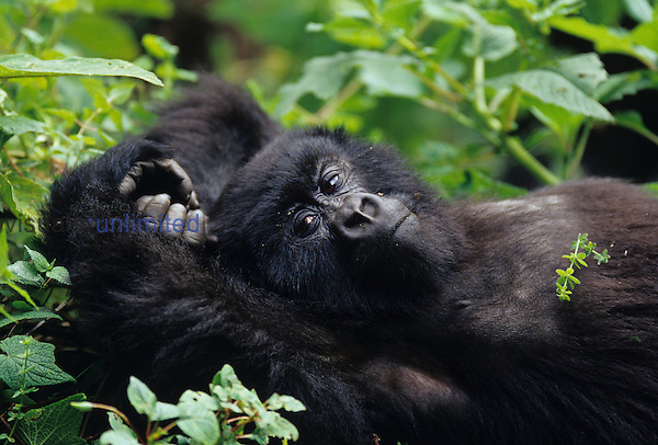 Young Mountain Gorilla ,Gorilla gorilla, lying on its back, an endangered species, Volcano National Park, Rwanda
