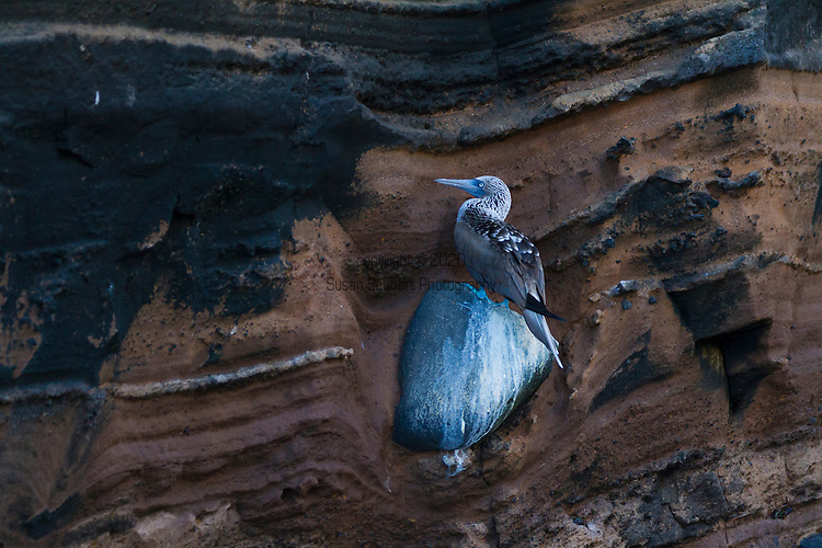 Blue Footed Boobies on the sea cliffs on Isabela Island in the Galapagos National Park, Galapagos, Ecuador, South America