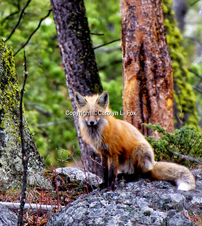 A red fox sits on a large rock in Yellowstone National Park.