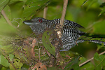 Fasciated Antshrike, Cymbilaimus lineatus fasciatus, Panama, Central America, Pipeline Road, Parque Nacional Soberania, male on nest