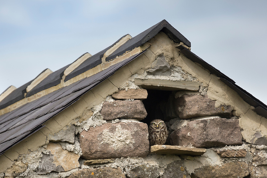 Little Owl (Athene noctua) roosting in stone field barn, Peak District National Park, Derbyshire, UK. August.