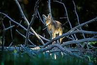 Wild Coyote stands among the limbs of a fallen lodgepole pine tree.  Western U.S., June.