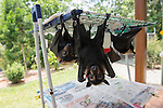 Fruitbats or spectacled flying fox (Pteropus conspicillatus) babies hanging in their nursery at Tolga Bat Hospital.