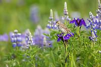 Savannah sparrow perches on the wildflower blossom of a wild iris in a lush summer field of vegetation in Katmai National Park, Alaska Peninsula, southwest Alaska.