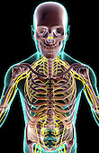 A superior anterior view of the upper body. The surface anatomy of the body is semi-transparent and tinted green. Royalty Free
