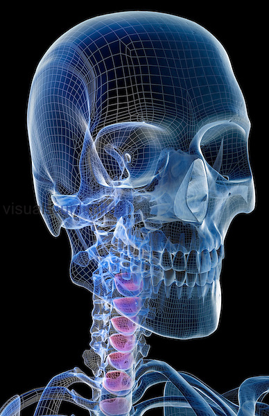 An anterolateral view (right side) of the bones of the head and neck. Royalty Free