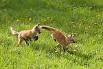 Two red fox kits run and play in a meadow in Wyoming.