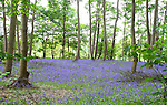 MAY 19 Everton Bluebells
