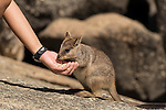 Mareeba rock-wallaby (Petrogale mareeba) baby hand fed with oats