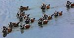 Harlequin ducks, Iceland