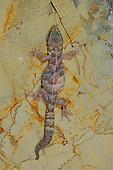 A female European Leaf-toed Gecko (Euleptes europaea), Europe