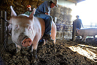 Caption 5<br /> John McCloud straddles his prize sow Adele during an artificial insemination procedure on September 24, 2013. McCloud is a successful show pig breeder.