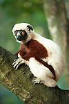 Coquerel's Sifaka, Propithecus coquereli, sitting in tree, Palmarium, Ankanin'ny Nofy, Madagascar, Endangered IUCN Red List and Appendix I of CITES