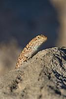 425900023 a wild great basin fence lizard sceloporus occidentalis longipes sits atop a large rock near eureka dunes california