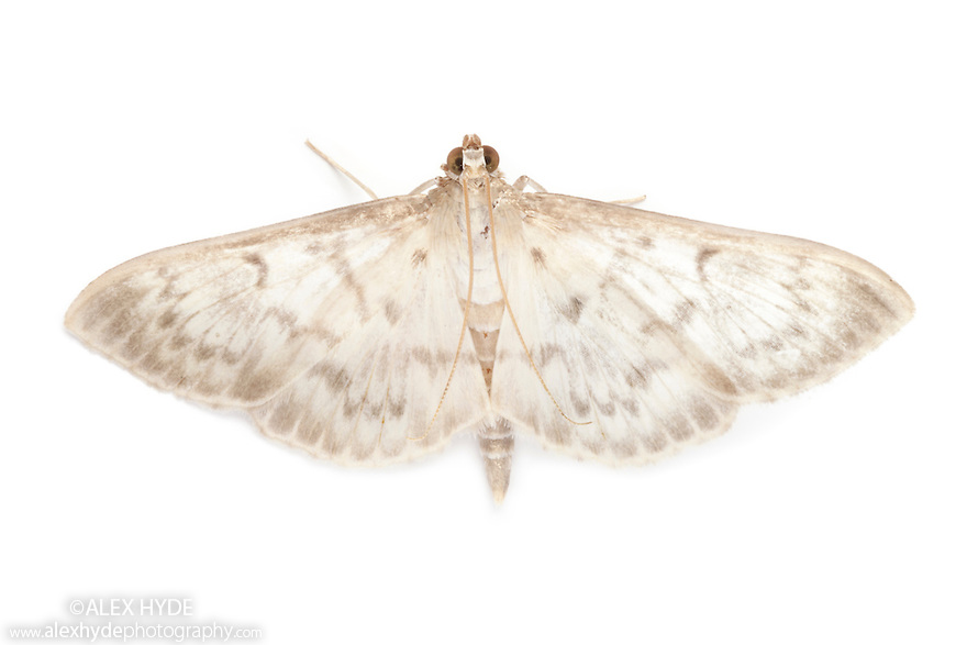 Morther of Pearl moth (Pleuroptya ruralis) photographed in mobile field studio on a white background. Peak District National Park, Derbyshrie, UK. August.