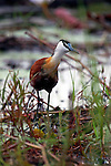 Africa, Botswana, Okavango Delta. African Jacana wading in reeds.