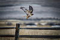 A Red-tailed Hawk takes wing from a fence post at Monte Vista National Wildlife Refuge in Colorado's San Luis Valley.