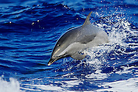 Pantropical Spotted Dolphin, Stenella attenuata, wake-riding, Big Island, Hawaii, Pacific Ocean.