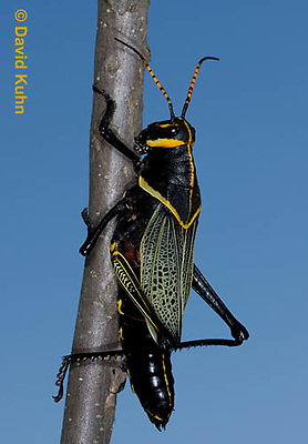 0913-0816  Adult Horse Lubber Grasshopper - Taeniopoda eques © David Kuhn/Dwight Kuhn Photography.