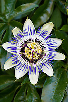 Passion flower in Sellack, Herefordshire, England, United Kingdom