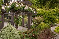 Rose 'Sally Holmes' on arbor in cottage garden. Sally Robertson Garden.