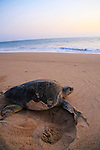Green sea turtle laying eggs, Hotelito Desconocido Sanctuary Reserve &amp; Spa, Costalegre, Jalisco, Mexico