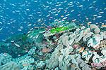 Bligh Waters, Rakiraki, Viti Levu, Fiji; an aggregation of schooling Anthias fish swimming above Toadstool Mushroom Leather Corals blanketing the coral reef