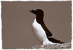 Razorbill against a blue sky