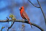 Northern Cardinal (Cardinalis cardinalis) male singing in spring, Ithaca NY, USA