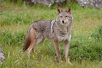 Coyote standing in the grass - CA