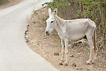 Bonaire, Netherlands Antilles; a wild donkey (Equus asinus) on the side of the road in Bonaire, originally brought to the island by the Spaniards in the 17th century, many donkeys still roam free, while others have been moved to the Donkey Sanctuary to help prevent accidents with cars , Copyright © Matthew Meier, matthewmeierphoto.com All Rights Reserved