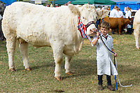 Charolais heifer cow age 3, National Champion, with winning rosettes at Moreton Show in Moreton-in-the-Marsh, The Cotswolds, UK