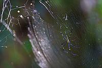 Spider web Phnom Kulen, Cambodia
