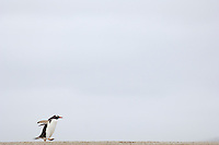 Commuting between the ocean and the rookery the Gentoo Penguins (Pygoscelis papua) cross the sandy beach, Falkland Islands.