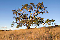 Coast Oak Trees and grassland, Santa Lucia Preserve, CA.