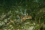 Raja Ampat epaulette shark (Hemiscyllium sp.) North Raja Ampat, West Papua, Indonesia