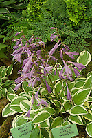 Hosta 'Little Wonder' (v) and Dixie Crystal