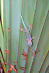 Ornate Day Gecko