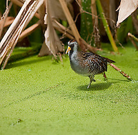 Sora standing on one foot at Green Cay Wetlands, Florida