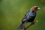 Cowbirds &amp; Grackles