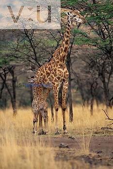 Kenyan Giraffe with three day old baby. ,Giraffa camelopardalis tippelskirch, Masai Mara, Kenya