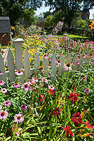 Summer flower garden with Echinacea purpurea purple coneflowers, Heliopsis, Veronicastrum Fascination, Hemerocallis daylilies, barn, blue sky on sunny day, perennials in lush bloom