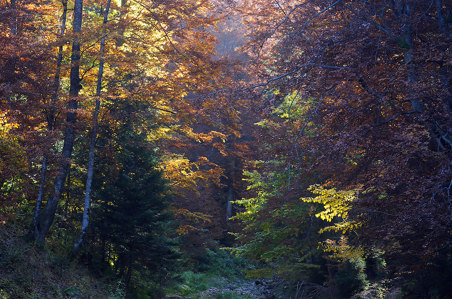 Forest in autumn, National Park Piatra Craiului, Transylvania, Southern Carpathians, Romania