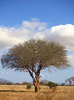 Acacia tree in Tsavo East National Park.